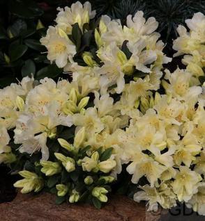 Zwerg Wild Alpenrose Ginny Gee 30-40cm - Rhododendron keiskei - Vorschau