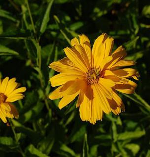 Sonnenauge Sommersonne - Heliopsis scabra