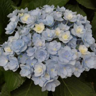 Bauernhortensie Forever 30-40cm - Hydrangea macrophylla - Vorschau