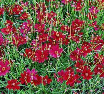 Mädchenauge Red Ruby - Coreopsis rosea - Vorschau