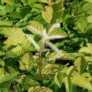 Chinesische Waldgeißbart Zweiweltenkind - Aruncus sinensis - Vorschau