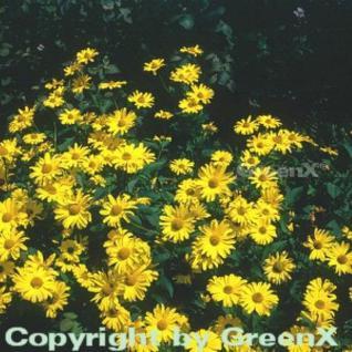 Sonnenauge Karat - Heliopsis scabra - Vorschau