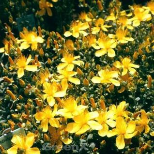 Polster Johanniskraut Grandiflorum - Hypericum polyphyllum - Vorschau