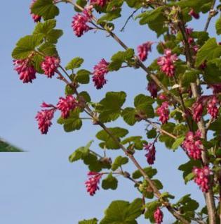Blut Johannisbeere Red Bross 60-80cm - Ribes sanguineum - Vorschau