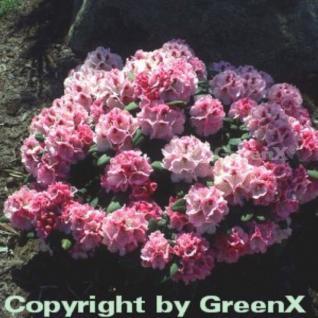 Rhododendron Nicoletta® 30-40cm - Alpenrose - Vorschau