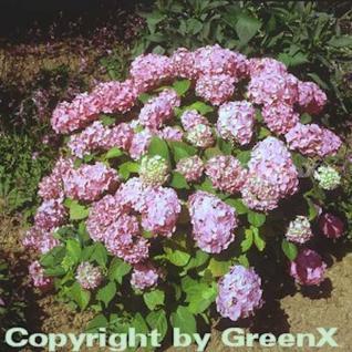 Bauernhortensie Bouquet Rose 30-40cm - Hydrangea macrophylla - Vorschau
