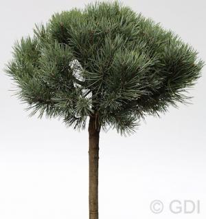 Hochstamm Silberkiefer 40-60cm - Pinus sylvestris - Vorschau