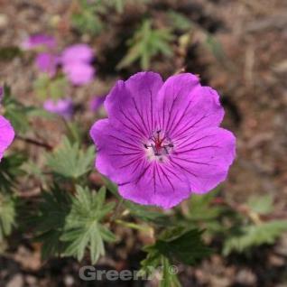 Storchenschnabel Carol - Geranium cinereum - Vorschau