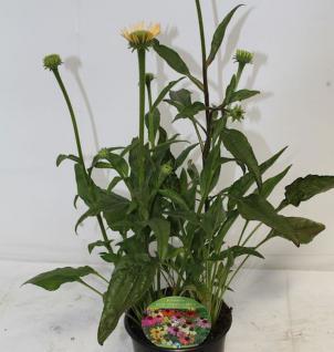 Sonnenhut Cheyenne Spirit - großer Topf - Echinacea cultorum - Vorschau
