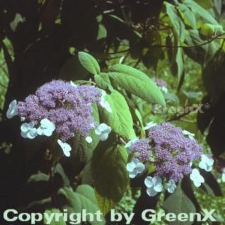 Samthortensie 60-80cm - Hydrangea sargentiana - Vorschau