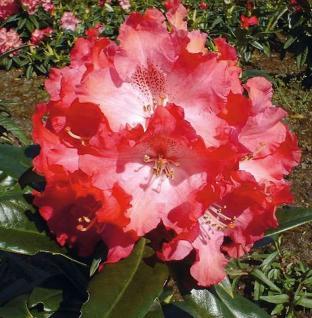 Großblumige Rhododendron Berliner Liebe 50-60cm - Alpenrose - Vorschau
