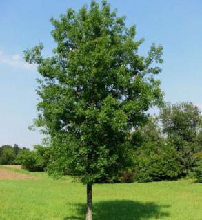 Säulenförmige Sumpf Eiche 60-80cm - Quercus palustris - Vorschau