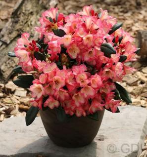 Rhododendron Barbarella 30-40cm - Rhododendron yakushimanum - Vorschau