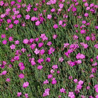 Heidennelke Roseus - Dianthus deltoides - Vorschau