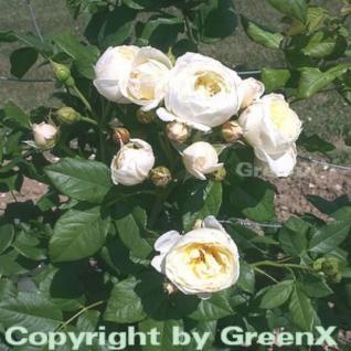 Hochstamm Rose Uetersener Klosterrose® 60-80cm - Vorschau
