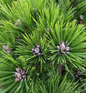 Hochstamm Japanische Rotkiefer Low Glow 60-80cm - Pinus densiflora - Vorschau