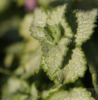 Waldnessel Pink Pewter - Lamium maculatum - Vorschau