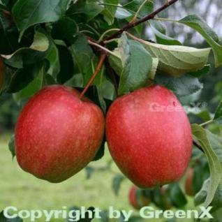 Apfelbaum Rewena 60-80cm - fest und süßsäuerlich - Vorschau