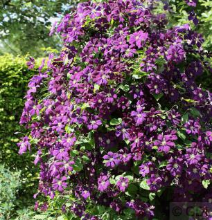 Robuste Waldrebe Etoile Violette 100-125cm - Clematis viticella - Vorschau