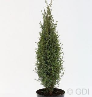 Wildwacholder Arnold 80-100cm - Juniperus communis - Vorschau