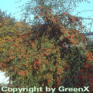 Wintergrüne Baummipel Cornubia 100-125cm - Cotoneaster watereri - Vorschau