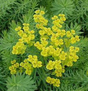 Steppen Wolfsmilch - Euphorbia seguieriana - Vorschau