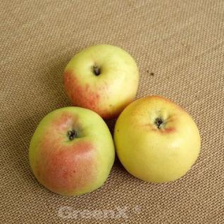 Apfelbaum Glasapfel 60-80cm - ein Frühapfel - Vorschau