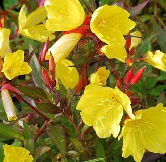 Nachtkerze Hohes Licht - Oenothera tetragona - Vorschau