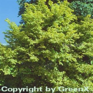 Goldhasel Aurea 60-80cm - Corylus avellana - Vorschau