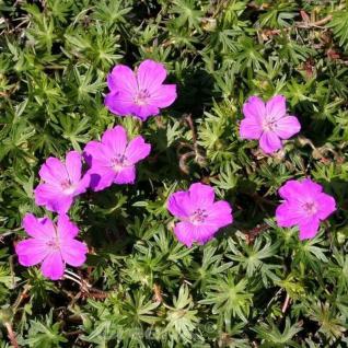 Storchenschnabel Inverness - Geranium sanguineum - Vorschau