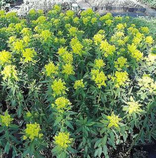 Sumpf-Wolfsmilch Teichlaterne - Euphorbia palustris - Vorschau