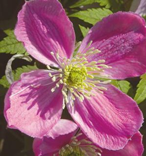 Berg Waldrebe Pink Perfection 40-60cm - Clematis montana - Vorschau