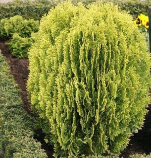 Gelber Zwerglebensbaum 30-40cm - Thuja occidentalis - Vorschau