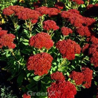 Hohe Flammenblume Septemberglut - Phlox Paniculata - Vorschau
