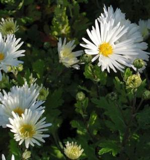 Winteraster Schneesturm - Chrysanthemum hortorum - Vorschau