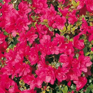Japanische Azalee Gislinde 15-20cm - Rhododendron obtusum - Zwerg Alpenrose - Vorschau