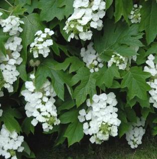 Eichenblättrige Hortensie Snowflake 40-60cm - Hydrangea quercifolia - Vorschau