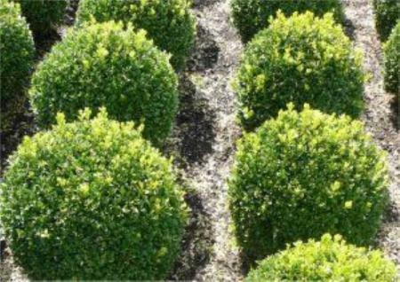 Buchsbaum Kugel 40-45cm - Buxus Kugel - Vorschau