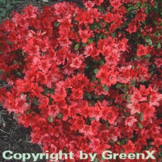 Japanische Azalee Rotstein 20-25cm - Rhododendron obtusum - Zwerg Alpenrose - Vorschau