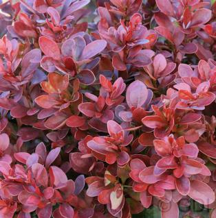 Beberitze Fire Ball® 20-25cm - Berberis thunbergii