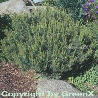 Silberkiefer 40-50cm - Pinus sylvestris - Vorschau