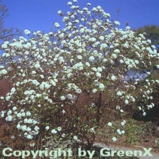 Osterschneeball 60-80cm - Viburnum burkwoodii - Vorschau