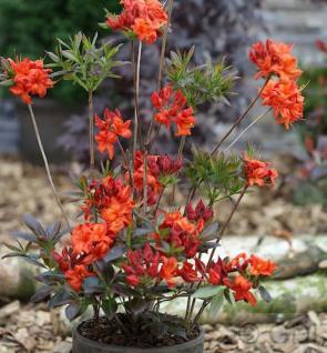 Azalee Fireglow 30-40cm - Rhododendron luteum - Zwerg Alpenrose - Vorschau