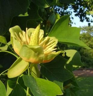 Amerikanischer Tuplenbaum 80-100cm - Liriodendron tulipifera - Vorschau
