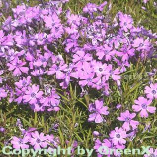 Teppich Phlox Purple Beauty - Phlox subulata - Vorschau