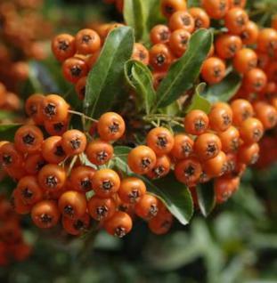 Feuerdorn Orange Glow 80-100cm - Pyracantha - Vorschau