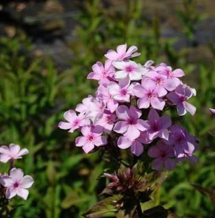 Hohe Flammenblume Lichtspiel - Phlox paniculata - Vorschau
