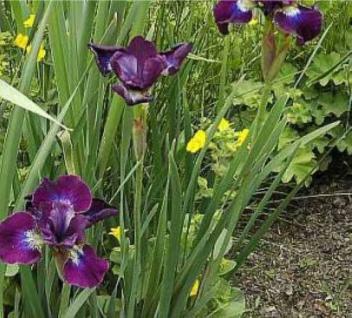 Sibirische Wieseniris Caesars Brother - Iris sibirica - Vorschau