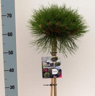 Hochstamm Zwergschwarzkiefer Marie Bregeon 40-60cm - Pinus nigra - Vorschau