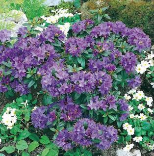 Zwerg Rhododendron Gristede 25-30cm - Rhododendron impeditum - Zwerg Alpenrose - Vorschau